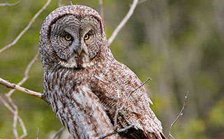Great Gray Owl image