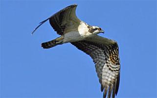 Osprey image